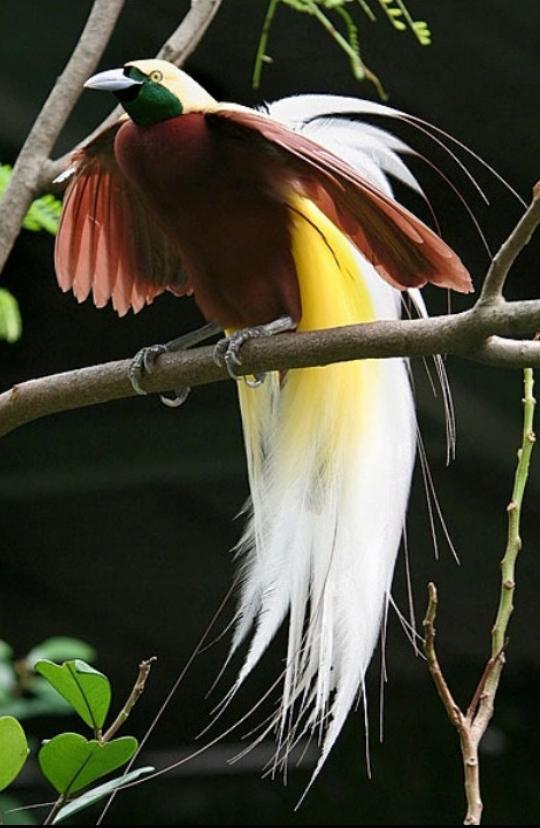 burung cendrawasih 2